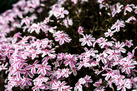 Phlox subulata 'Candy Stripe'